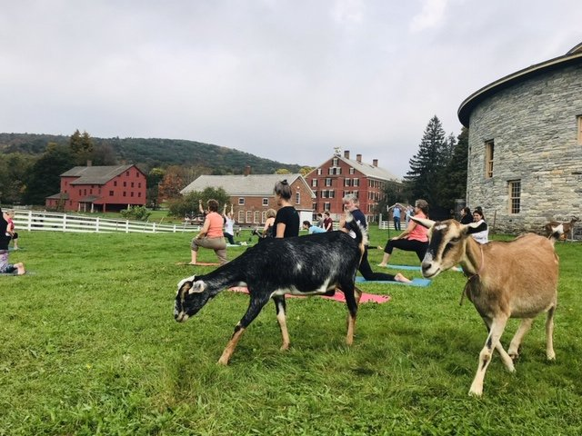 At the Hancock Shaker Village, visitors can start the day off with an hour-long yoga session alongside goats. Kristen Bayrakdarian/Staff Writer