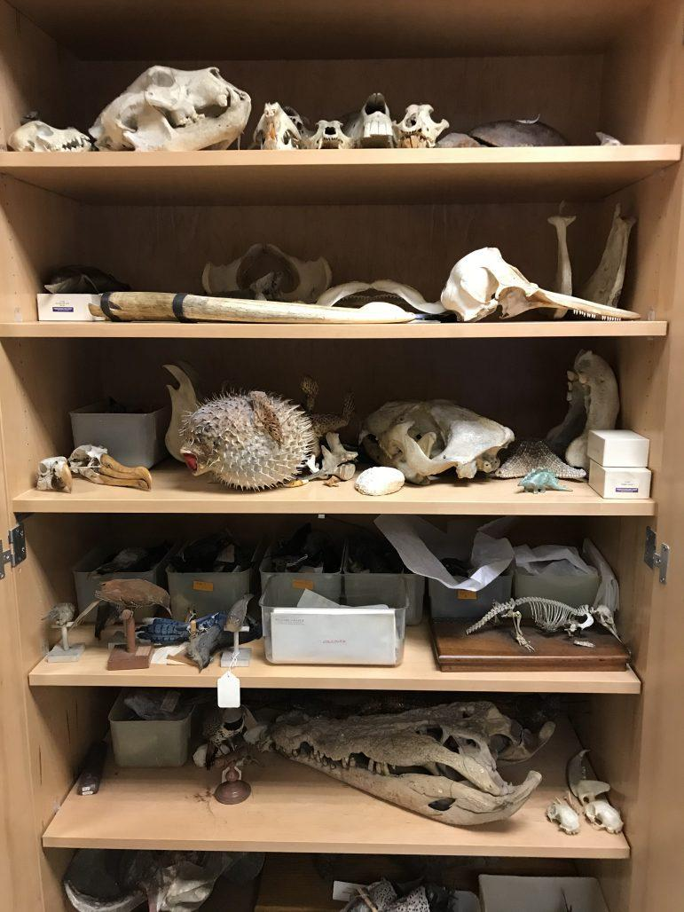 RUSSELL BLAKEY/THE WILLIAMS RECORD A taxidermy shelf on the fourth floor of the biology building is home to pufferfish and other specimens.