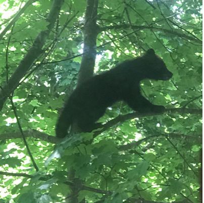 A bear cub got stuck in a tree in Scott Lewis's Williamstown yard. (Photo courtesy of Scott Lewis.)